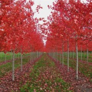 Acer x freemanii 'Autumn Blaze' (Fall)2